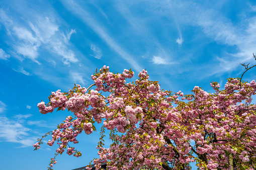 A Japanese Cherry Tree with a clear blue sky in the background. Closeup picture of a branch