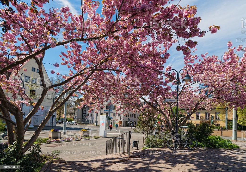 japanese cherry trees in Jena, Germany stock photo