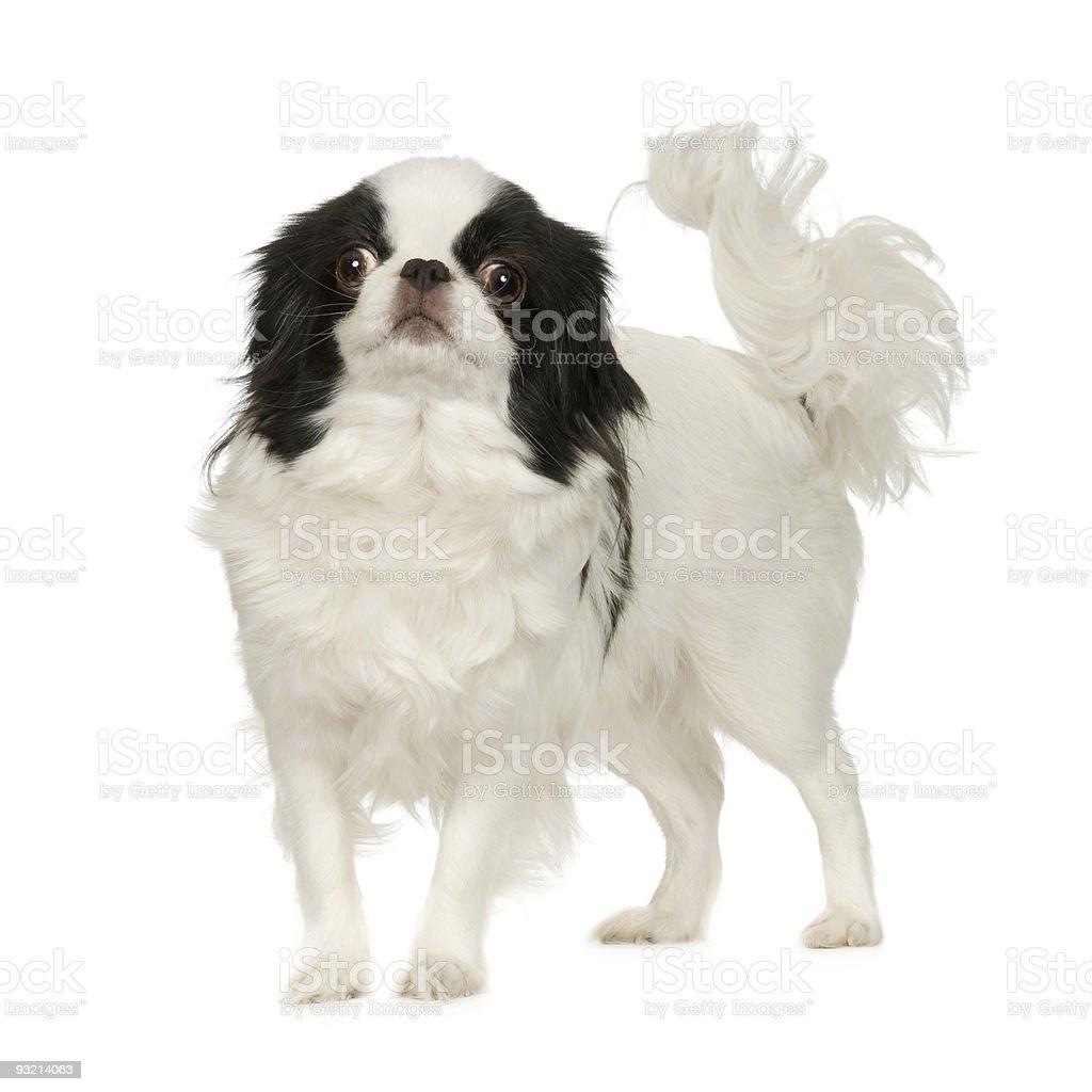 Japanese Chin Dog stock photo