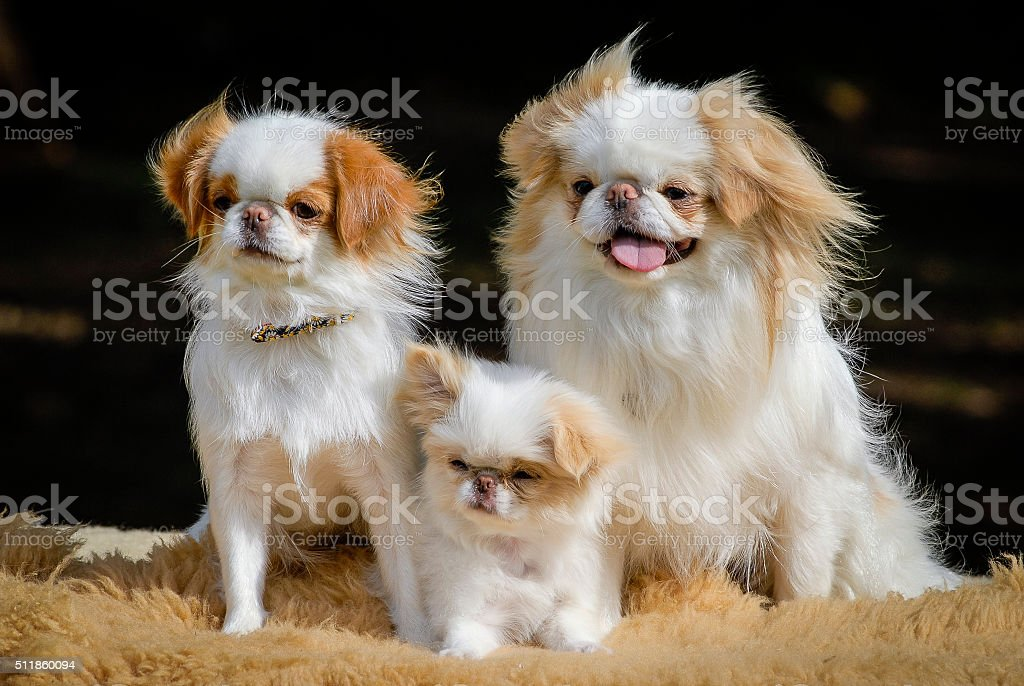 Japanese Chin Dogs with Puppy - Portrait​​​ foto