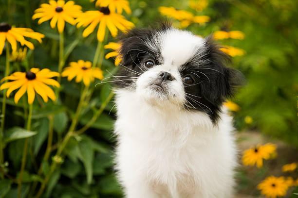 Japanese Chin Puppy in Garden stock photo