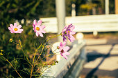 Japanese cosmos blooming on the side of the road.