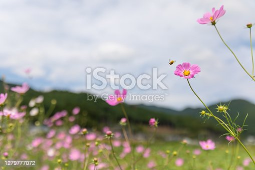 Japanese cosmos flowers