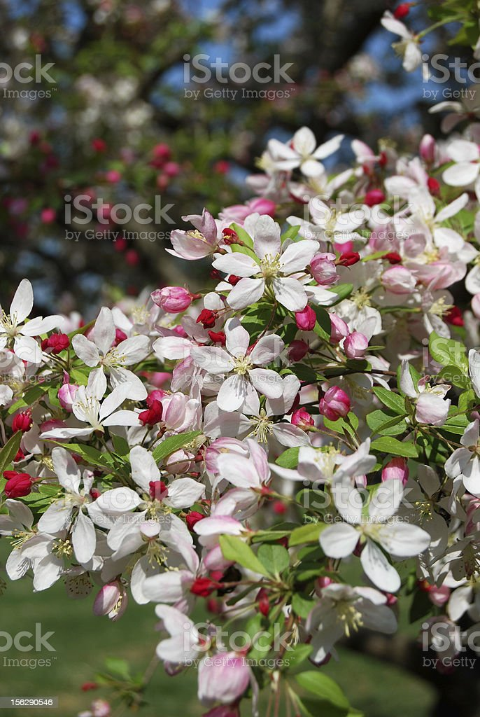 Japanese Crabapple Tree Flowers royalty-free stock photo