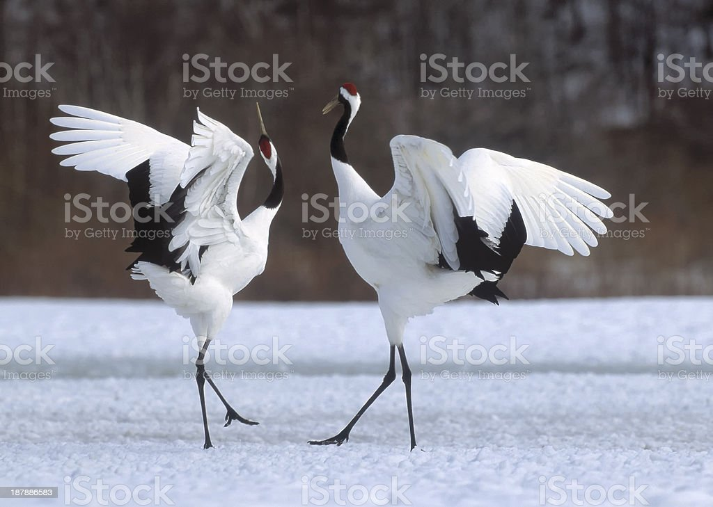 Japanese crane courtship dance stock photo