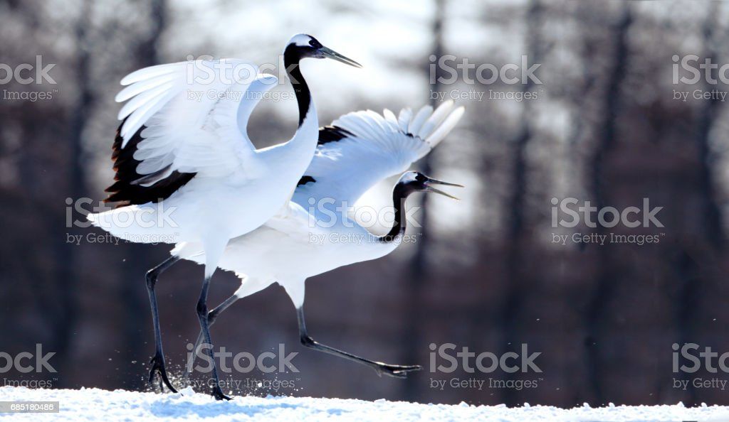 Japanese crane stock photo