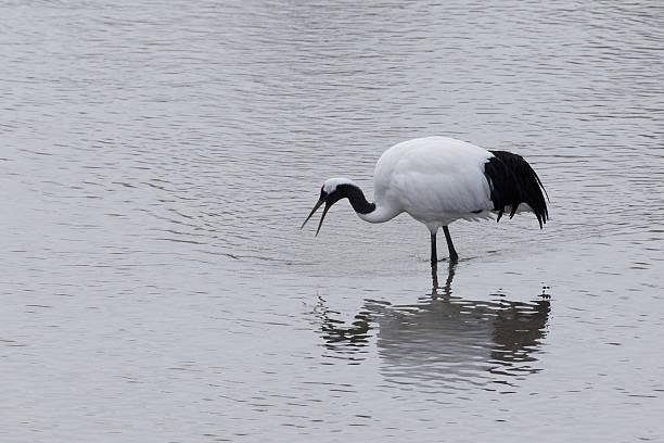 Japanese Crane Standing In Water stock photo