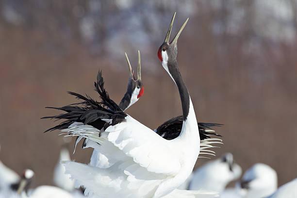 Japanese Cranes stock photo