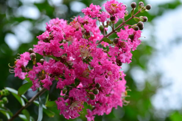 Best crepe myrtle tree stock photos pictures royalty for Fiori ornamentali