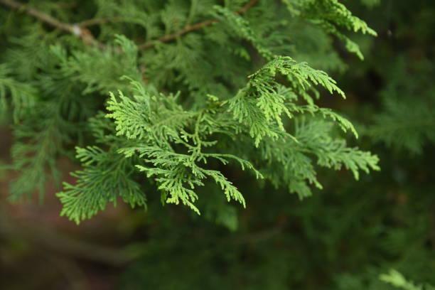 Japanese cypress (Hinoki cypress) – zdjęcie