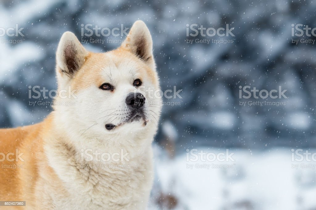 Japanese Dog Akita Inu Winter Background stock photo