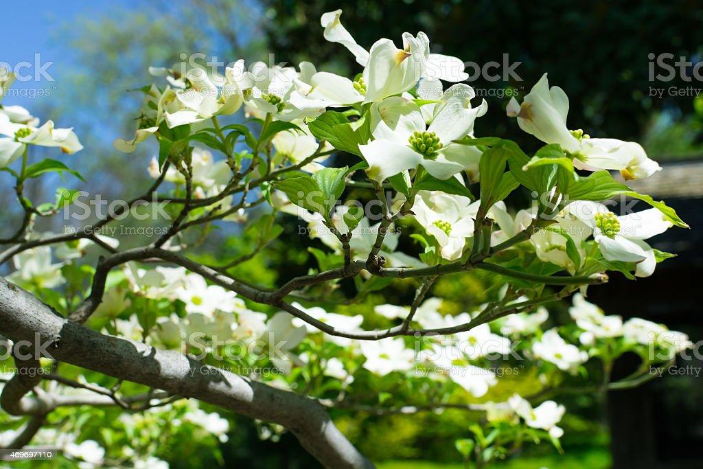Japanese Dogwood Blossom stock photo