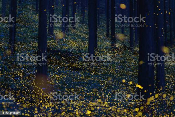 Japanese fireflies flying around the trees picture id1151420942?b=1&k=6&m=1151420942&s=612x612&h=suwjtmw0nyi6mm26b sq b2vlsykypd4l6zhzf6kcgc=