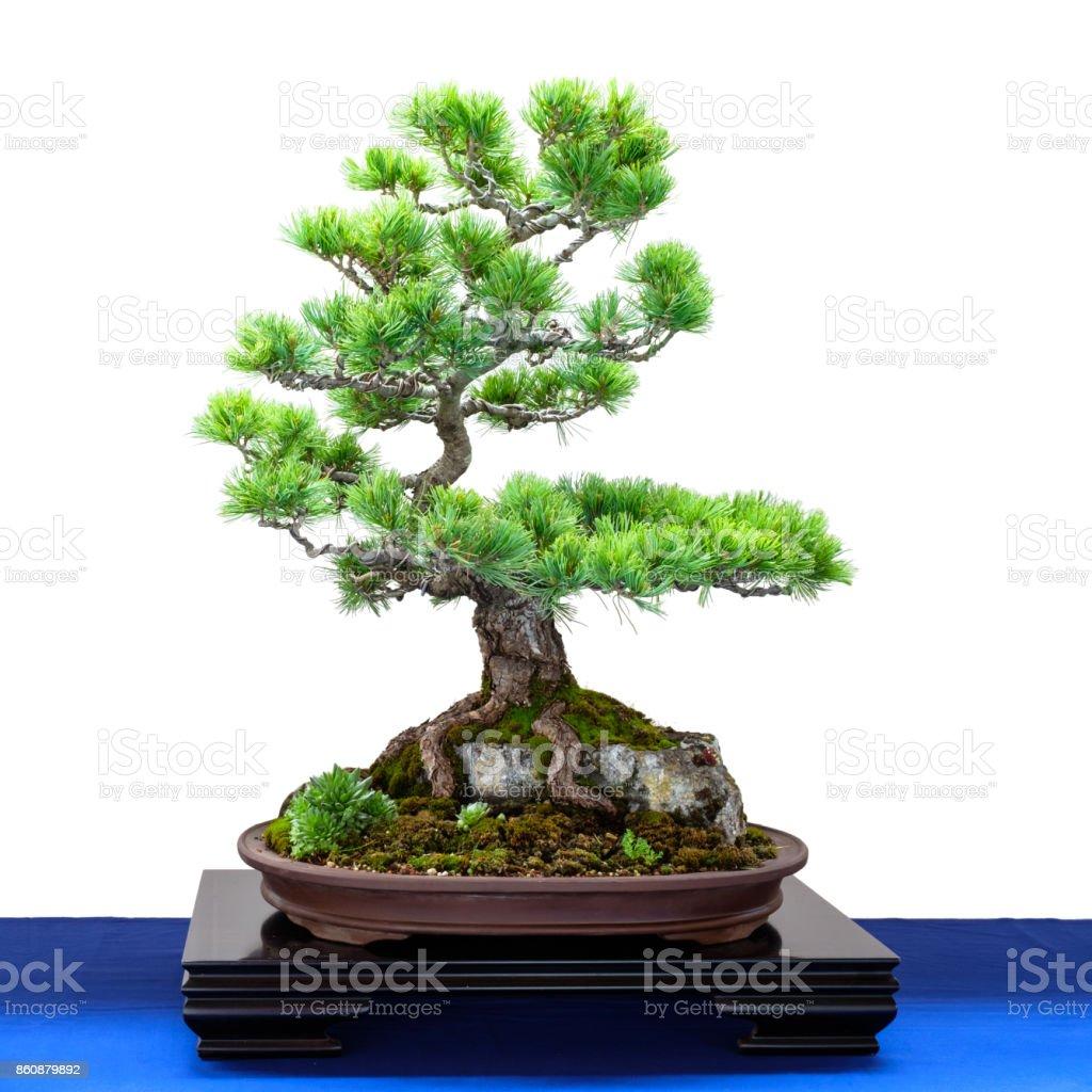 Japanische fünf Finger Kiefer (Pinus Parviflora) Nadelbaum als Bonsai-Baum – Foto