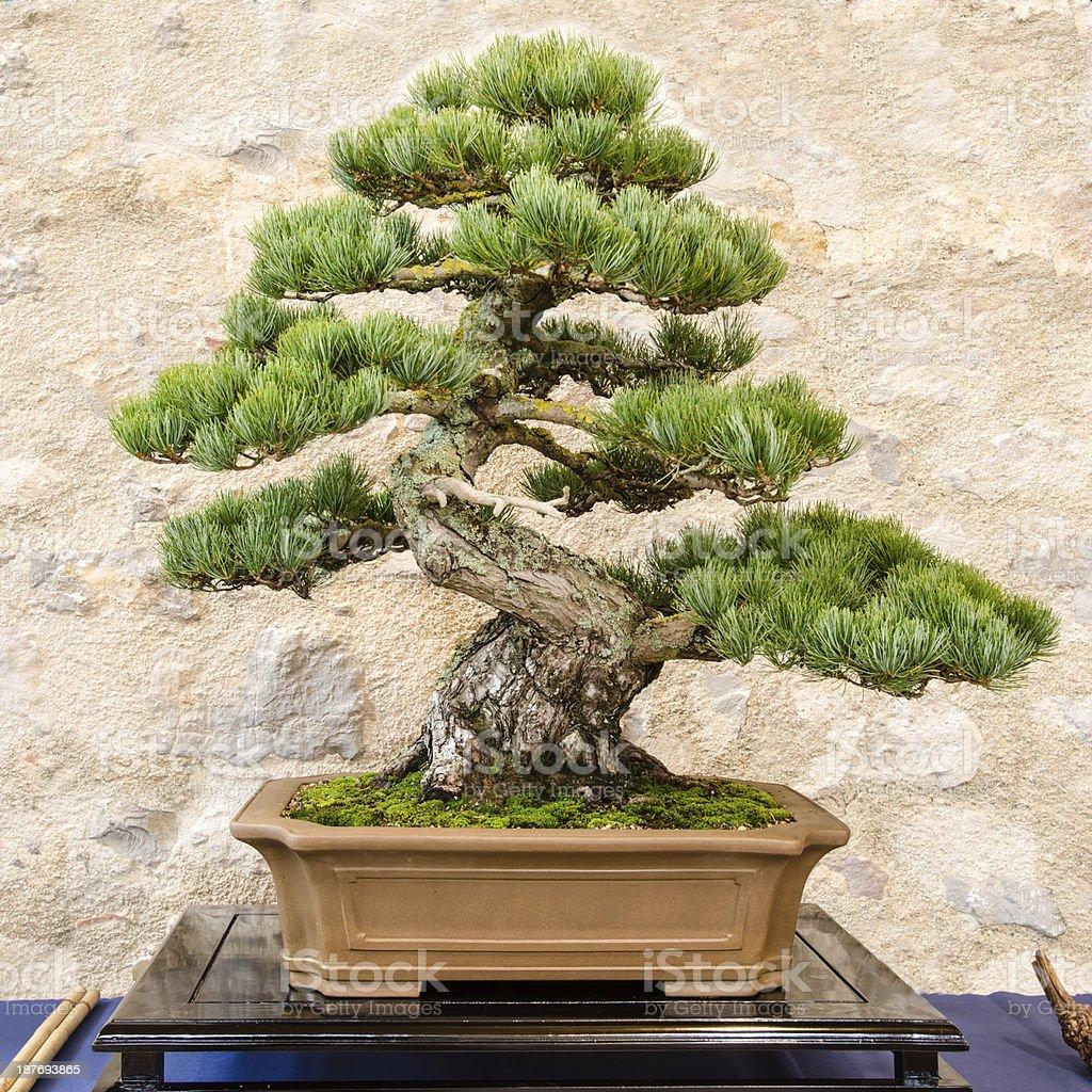 Fotografía de Pino Japonés Cinco Aguja Como árbol Bonsái y más banco ...