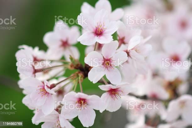 Japanese flower sakura tree picture id1194660769?b=1&k=6&m=1194660769&s=612x612&h=fsefowagn8lquylzjwb3rkgmalpt4iora8gr3a goc8=