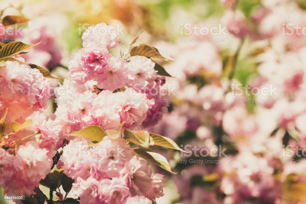 Japanese Flowering Cherry Tree Background Stock Photo Download
