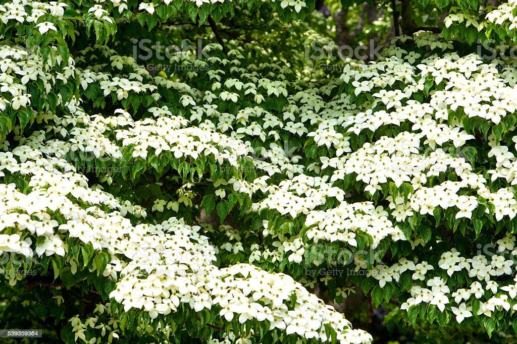 Japanische Amerikanischer Blumenhartriegel Baum Stockfoto Und Mehr