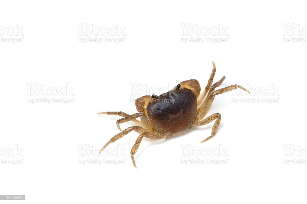 Japanese Freshwater Crab-Geothelphusa dehaani stock photo