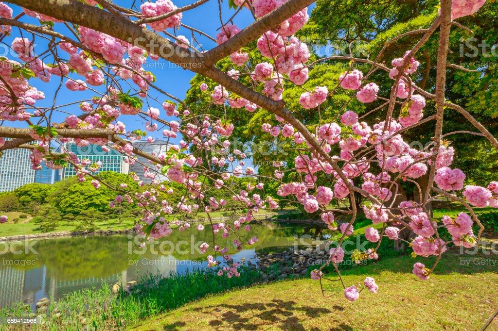 Japanese garden Cherry blossom stock photo