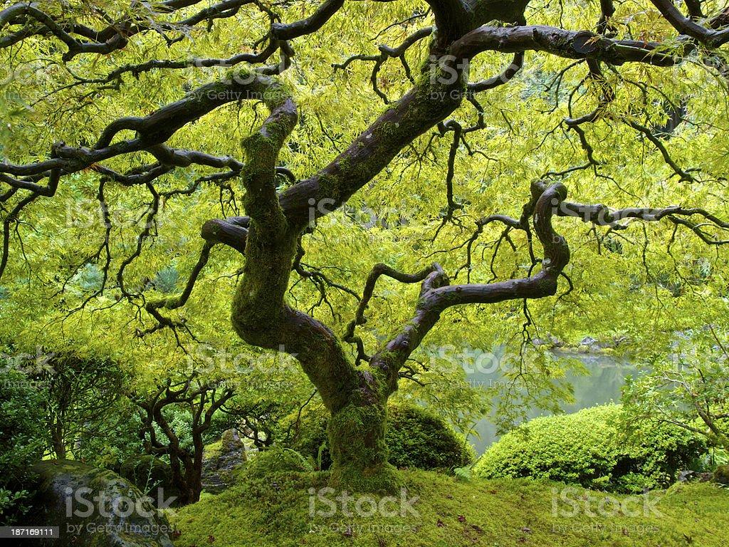 Acero Giapponese Verde giardino giapponese di acero autunno verde bagliore portland