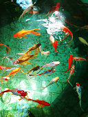 Japanese garden pond or pool with swimming colorful fishes, abstract nature background