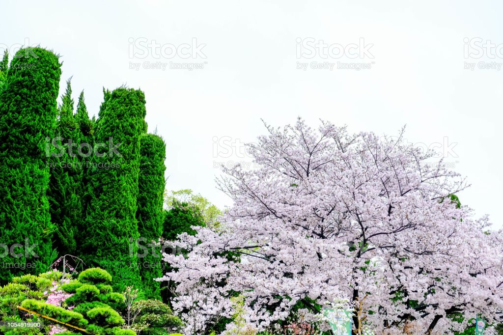 Japanese Garden Sakura Trees Green Pine And Bonsai Trees Decorate