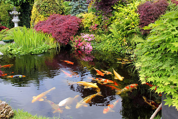japoński ogród z koi ryb - staw woda stojąca zdjęcia i obrazy z banku zdjęć