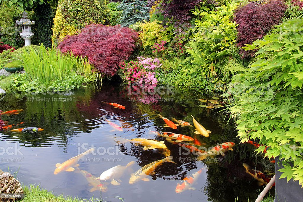 Japanese garden with koi fish stock photo