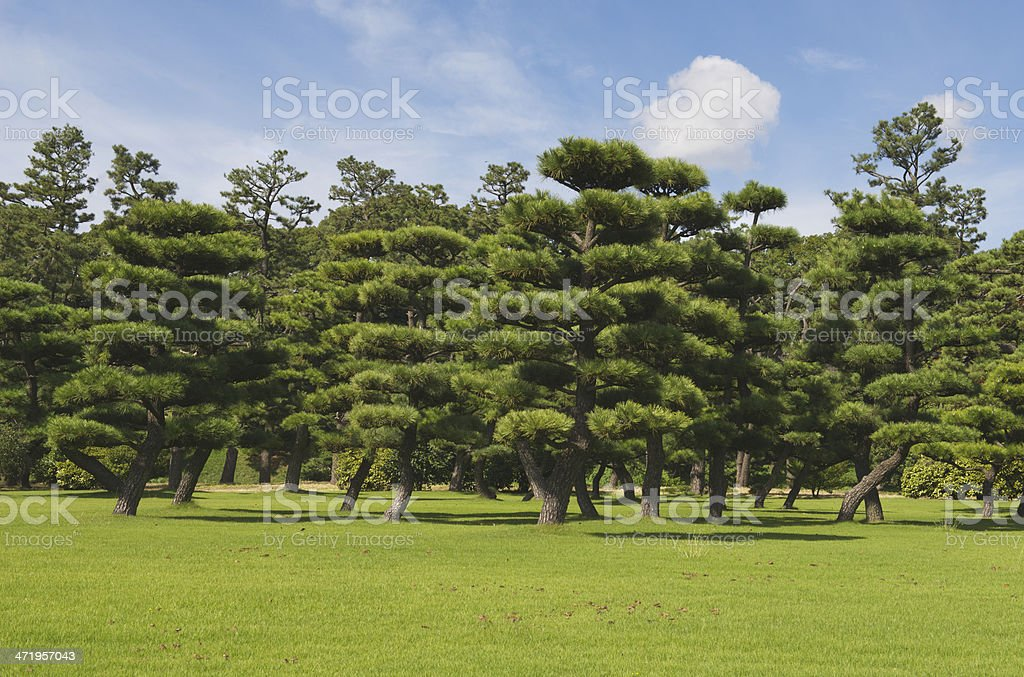 Japanese garden with large Japanese Black Pine trees and lawn stock photo