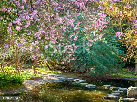 Pink ornamental Cherry blossoms hanging down over pond.