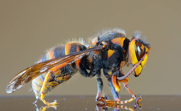 Japanese giant hornet closeup macro, also called giant sparrow bee stock photo