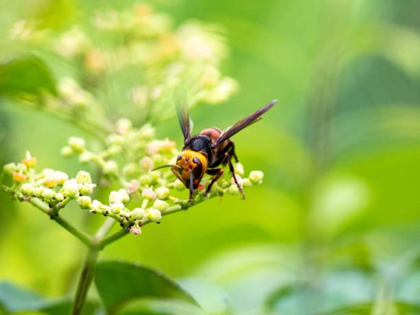 日本巨黃蜂或謀殺黃蜂1 - murder hornet 個照片及圖片檔