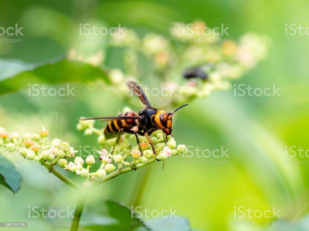 日本巨黃蜂或謀殺黃蜂2 - 免版稅亞洲圖庫照片