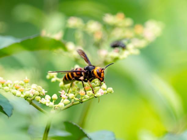 日本巨黃蜂或謀殺黃蜂2 - murder hornet 個照片及圖片檔