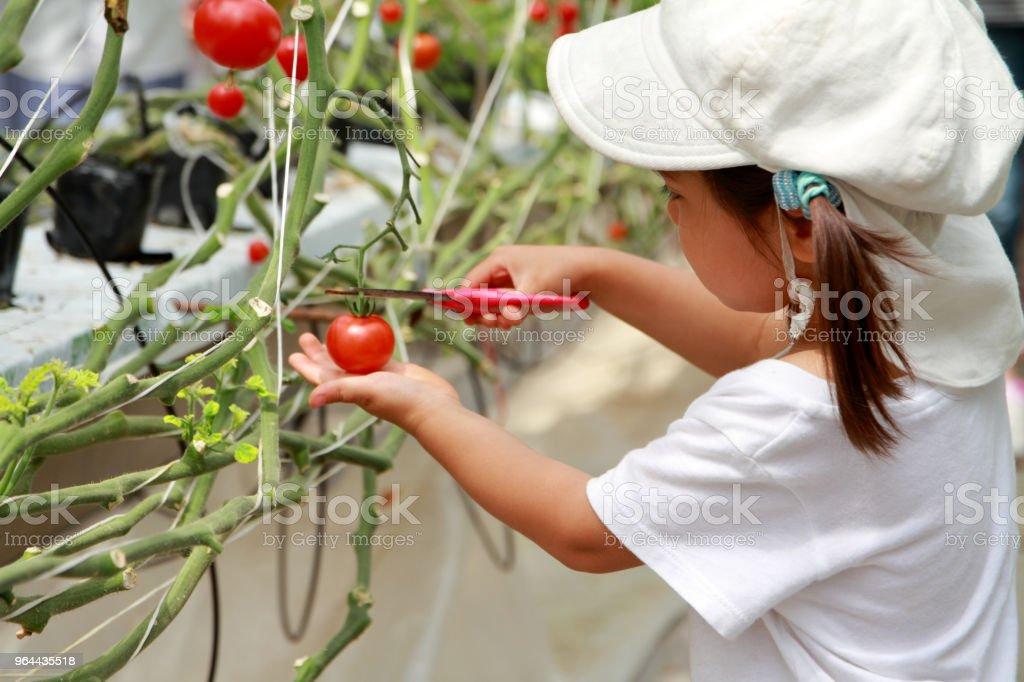 Japans meisje plukken cherry tomaat (3 jaar) - Royalty-free 2-3 jaar Stockfoto