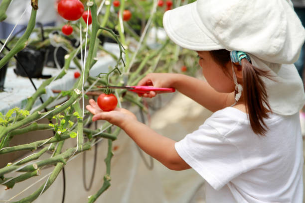 Japanese girl picking cherry tomato (3 years old) Japanese girl picking cherry tomato (3 years old) satoyama scenery stock pictures, royalty-free photos & images