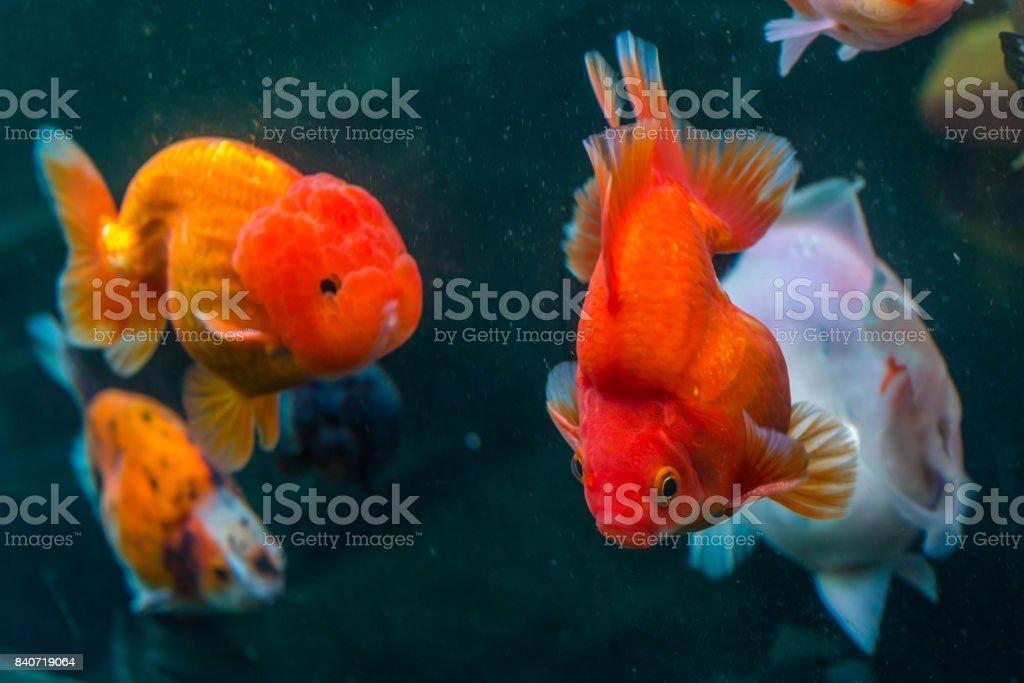 Japanese Goldfish Ranchu Goldfish Oranda Goldfish Stock