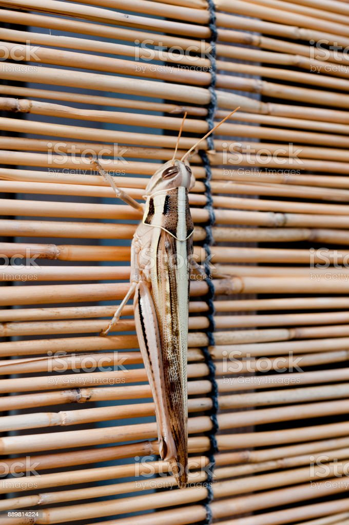 Japanese grasshopper,Patanga japonica stock photo