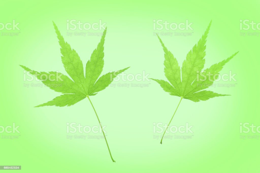 Japanese green maple leaf on fresh green foto de stock royalty-free