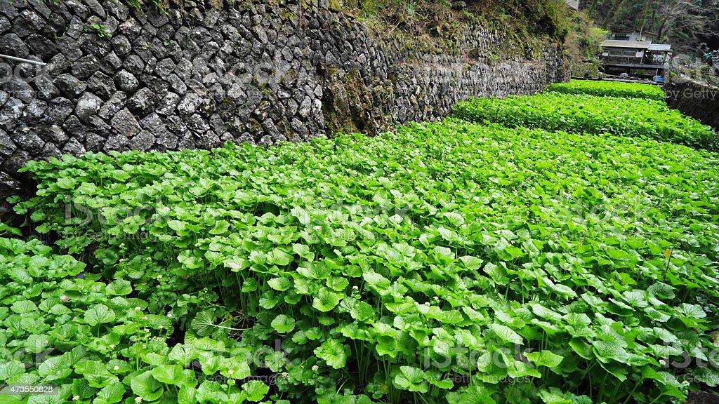 Rábano picante campo japonés - foto de stock