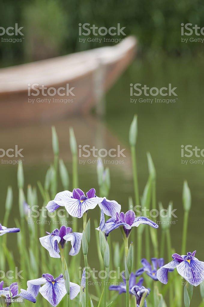 Japanese iris royalty-free stock photo