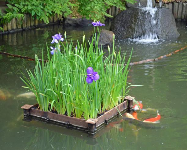 Japanese Irises in Japanese Garden Pond stock photo