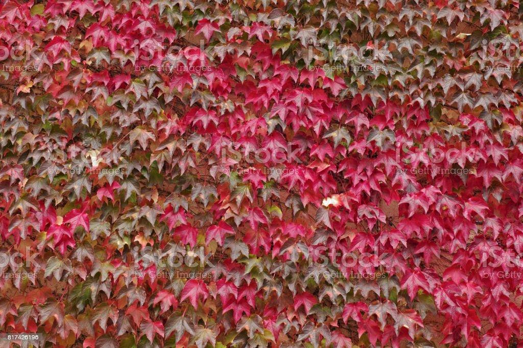japanese ivy stock photo