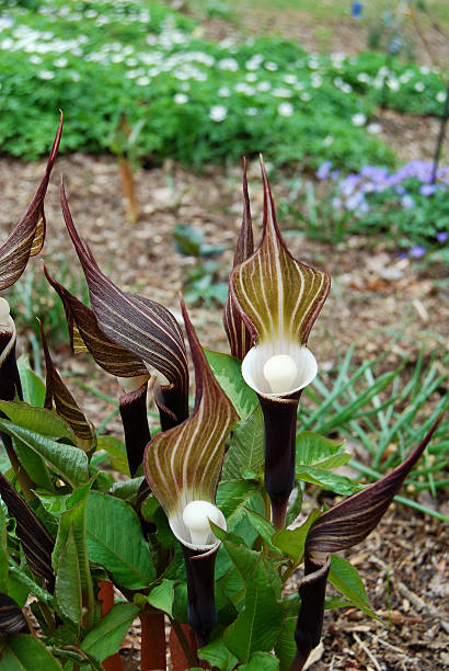 Royalty Free Jack In The Pulpit Pictures Images And Stock Photos