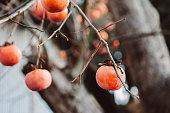 istock Japanese Kaki fresh beautiful organic persimmon fruits 1176481078