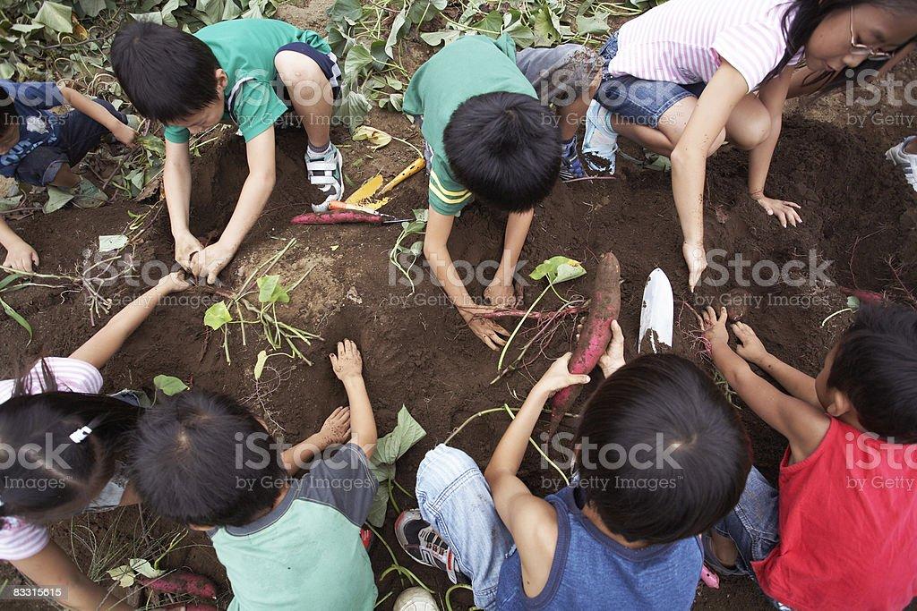 日本の子供の収穫サツマイモ ロイヤリティフリーストックフォト