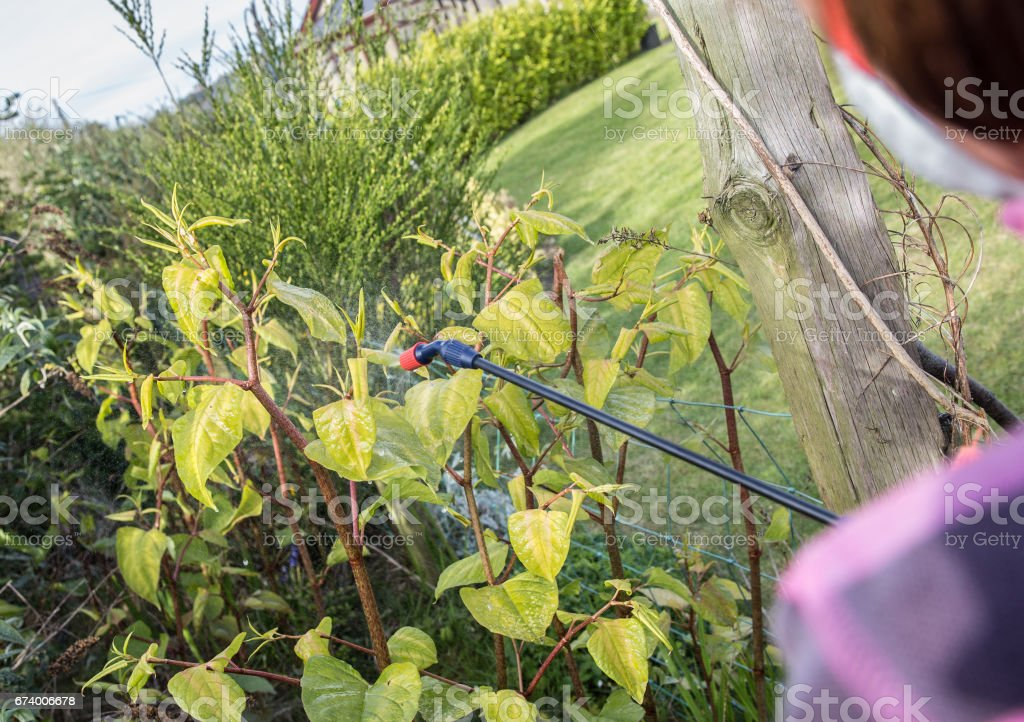 Japanese knotweed being sprayed to kill of the weed royalty-free stock photo