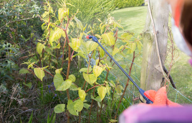 japanese knotweed being sprayed to kill of the weed - japanese knotweed stock pictures, royalty-free photos & images