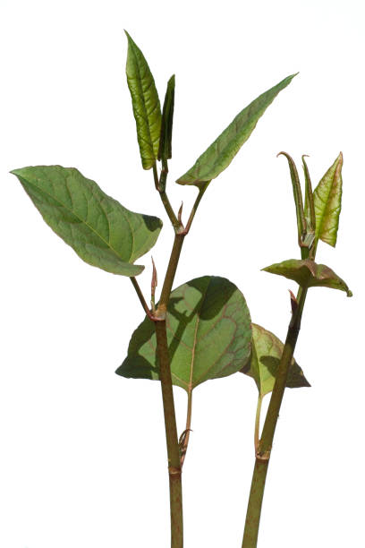 japanese knotweed, fallopia japonica - knotweed stock pictures, royalty-free photos & images
